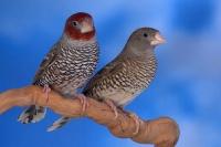 Amadine à tête rouge phénotype ancestral couple