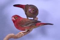 Amarante du Sénégal phénotype sauvage mâle et femelle_1