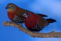 Sénégali enflammé phénotype ancestral couple