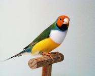 Diamand de Gould tête orange poitrine blanche_1