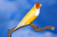 Diamant de Gould : jaune double dilution poitrine blanche tête orange mâle