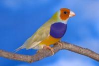 Diamant de Gould : jaune double dilution poitrine violette tête orange mâle