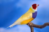 Diamant de Gould : jaune double dilution poitrine violette tête rouge mâle