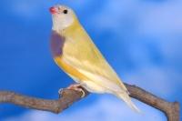 Diamant de Gould : jaune double facteur tête noire femelle