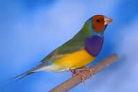 Diamant de Gould : jaune simple facteur poitrine violette tête orange mâle