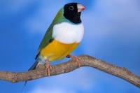 Diamant de Gould : vert poitrine blanche tête noire pointe du bec rouge mâle