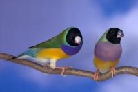 Diamant de Gould : vert poitrine violette tête noire couple