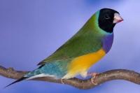Diamant de Gould : vert poitrine violette tête noire pointe du bec rouge