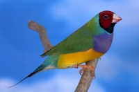 Diamant de Gould : vert poitrine violette tête rouge mâle