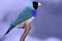 Diamant de Gould bleu poitrine type sauvage tête noire mâle_1