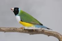 Diamant de Gould vert poitrine blanche tête noire mâle_1