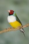 Diamant de Gould vert poitrine blanche tête rouge mâle_2
