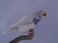 Mâle Pastel bleu porteur de Poitrine blanche TR/TO_1