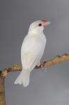 Padda opale phaéo femelle_1